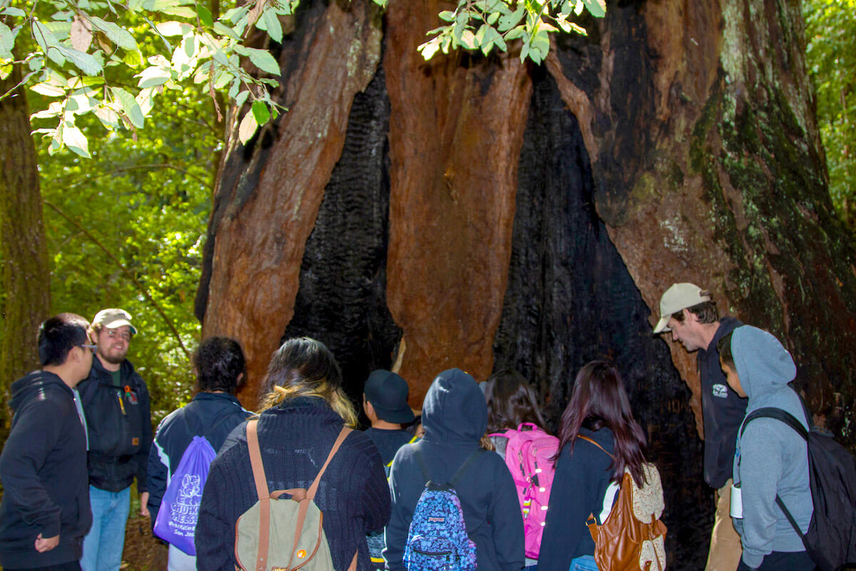 Old-growth redwood with fire scars.
