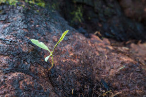 New growth sprouting in the redwoods after a fire