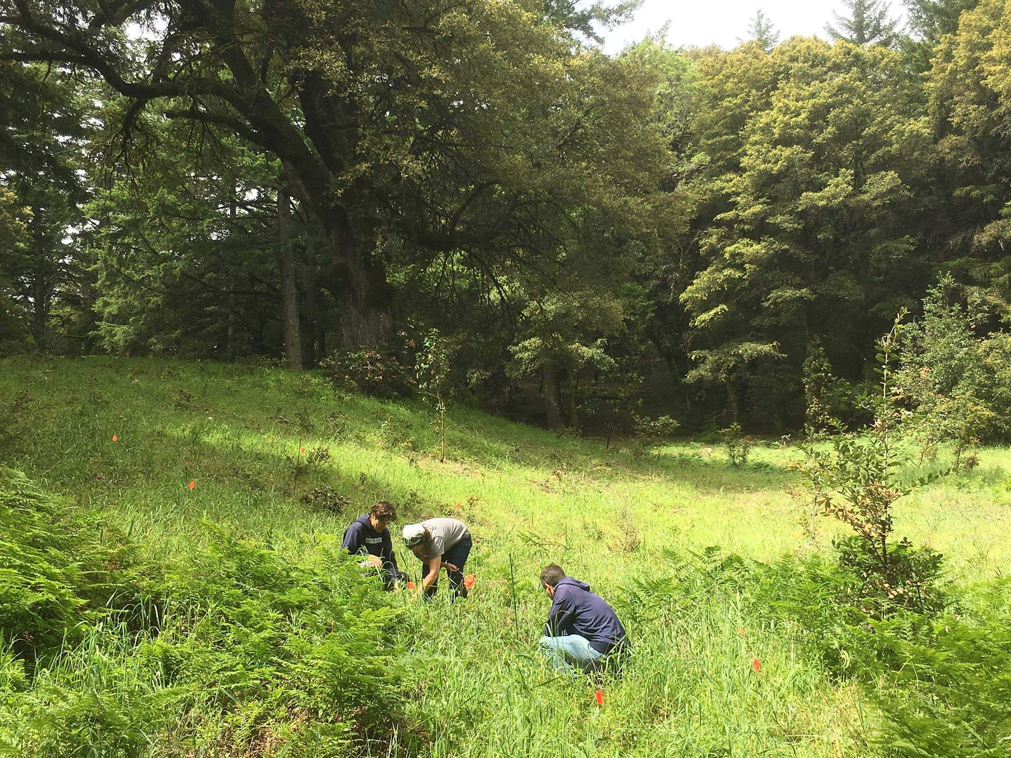 Establishing research plots at Sempervirens Fund's Whalen property