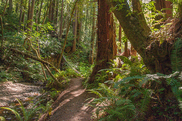 an image of a trail in the redwoods